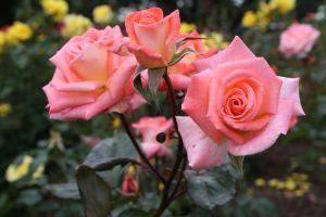 roses_939519_.jpg