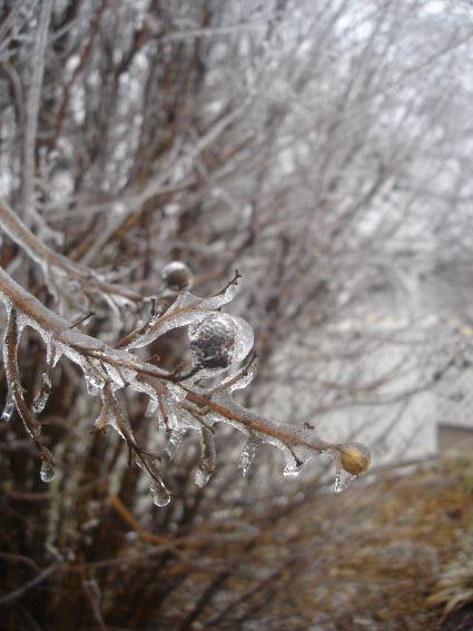 branch-iced.jpg